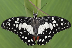 Black and white butterfly. A black and white butterfly on a leaf Royalty Free Stock Image