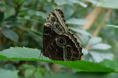Black and white butterfly on a leaf Stock Photo