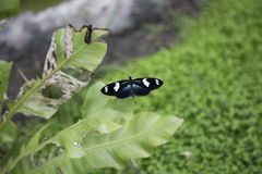 Black white butterfly on leaf Royalty Free Stock Photography