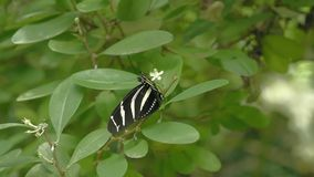 Black and white butterfly on leaf. Close-up of sitting butterfly on green plant. Tropical butterfly with beautiful wings, proboscis and sockets stock video