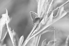 Black and white butterfly. Macro detail of Large Blue Butterfly on a leaf stock photography