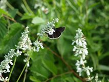 A Black and White Butterfly Moth Contrast a White Bloom