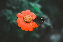 Black and White Butterfly on an Orange Petaled Flower Stock Images