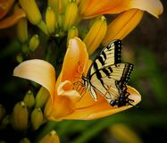 Black and White Butterfly Perch on Yellow Petaled Flower Royalty Free Stock Image