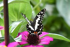 Black and white butterfly perched on flowers royalty free stock image