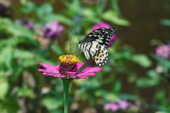 Black and white butterfly perched on flowers royalty free stock photography