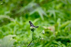 Black and white butterfly perched on a plant Stock Photo