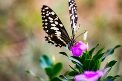 Black and white butterfly on a pink flower. In the Masai Mara Park in Kenya Stock Photo