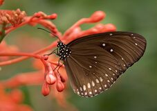 Black and White Butterfly on Red Flower Stock Images
