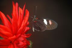 Black and White Butterfly on Red Multi Petaled Flower royalty free stock image