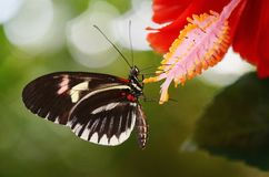 Black and White Butterfly on Red Petal Flower Royalty Free Stock Photo