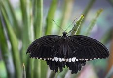 Black and White Butterfly Shallow Focus Photography Stock Images