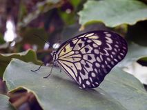 A black and white butterfly. Sits on a green leaf Royalty Free Stock Images