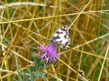 Black and white butterfly sitting on the flower Royalty Free Stock Images