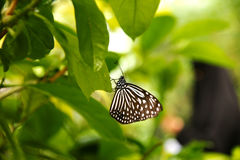 Black white butterfly sitting on green leaf. Royalty Free Stock Photography