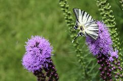 Black-and-white butterfly sitting on long lilac flowers on a green lawn stock photography