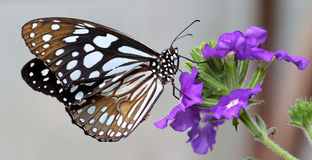 Black and White Butterfly sitting on purple flower. Beautiful Black and White butterfly feeding on nectar of large purple flower royalty free stock images