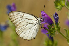 Black and white butterfly sucking nectar. From within purple flower stock images