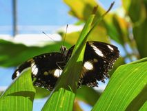 Black & white butterfly from underneath in sunshine. Black & white butterfly from underneath, perched on a leaf. Macro photo. Taken in sunshine Royalty Free Stock Photo