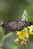 Black and white Butterfly in a yellow flower. Beautiful black and white butterfly in a yellow crotalaria flower with green background Stock Image