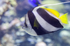 Black & White Butterflyfish. Portrait of a Heniochus Black & White Butterflyfish (Heniochus acuminatus Royalty Free Stock Photo