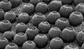Cactus ball plants. Black and white cactus ball plants in botanical garden royalty free stock photos