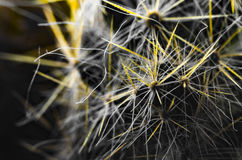 Black and white cactus with yellow spikes Royalty Free Stock Images