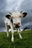 Black and White Calf. Black and white Friesian calf with others gazing in field stock photo