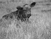 Black & White Calf Royalty Free Stock Images