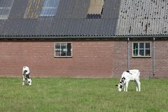 Black and white calf in front of dutch farm in the netherlands near veenendaal. Black and white calf in front of dutch farm in the dutch province of utrecht near Royalty Free Stock Images