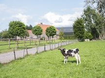Black and white calf in front of dutch farm in the netherlands near veenendaal. Black and white calf in front of dutch farm in the dutch province of utrecht near royalty free stock photo