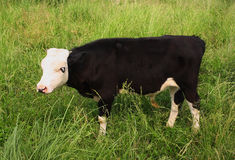 Black-and-white calf is grazed on meadow Royalty Free Stock Image