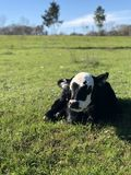 Black And White Calf On Green Grass Field Stock Photo