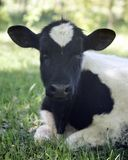 The calf lies on the grass royalty free stock photography