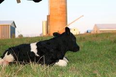 Still wet newborn Holstein calf lays on the grass stock image