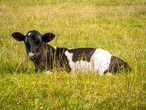Black and White Calf Resting. This black and white calf lives other very young calves. Here she is resting in the long grass, enjoying the sunshine Royalty Free Stock Photo