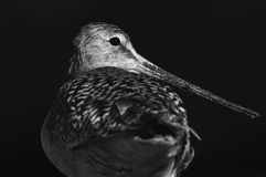Black and white california sandpiper Royalty Free Stock Photography