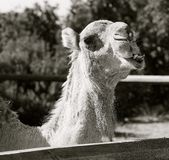 Black and White Camel Head Stock Photo