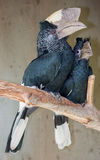 Black White-casqued  Hornbill Pair Royalty Free Stock Photos