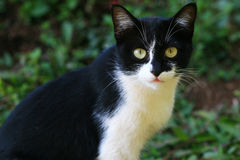 Black and White Cat. Cat looking for something with great interest Royalty Free Stock Image
