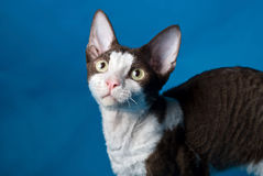 Black and white cat. On a blue background Stock Photo