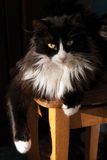Black and white cat. Sitting on a chair Royalty Free Stock Photo