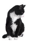 Black and white cat. Sitting on white background stock images