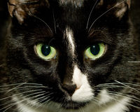 Black and White Cat. A close-up of the face of a black and white cat royalty free stock photo