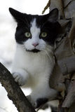 Black and White Cat. Portrait of a Black and White Cat in a tree Royalty Free Stock Photo