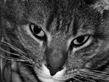 Black and White Cat. Tabby cat in black and white Stock Photo