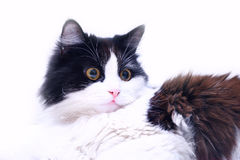 Black&white cat. Black & white cat isolated on white Stock Photography