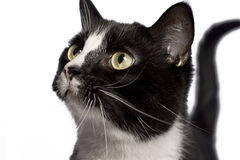 Black and white cat. Close up portrait of a black and white cat stock photography