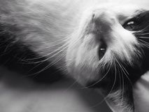 Black&White Cat Adoring Stockbild