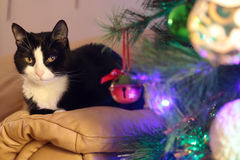Black and white cat ahead a christmas pine tree Royalty Free Stock Images